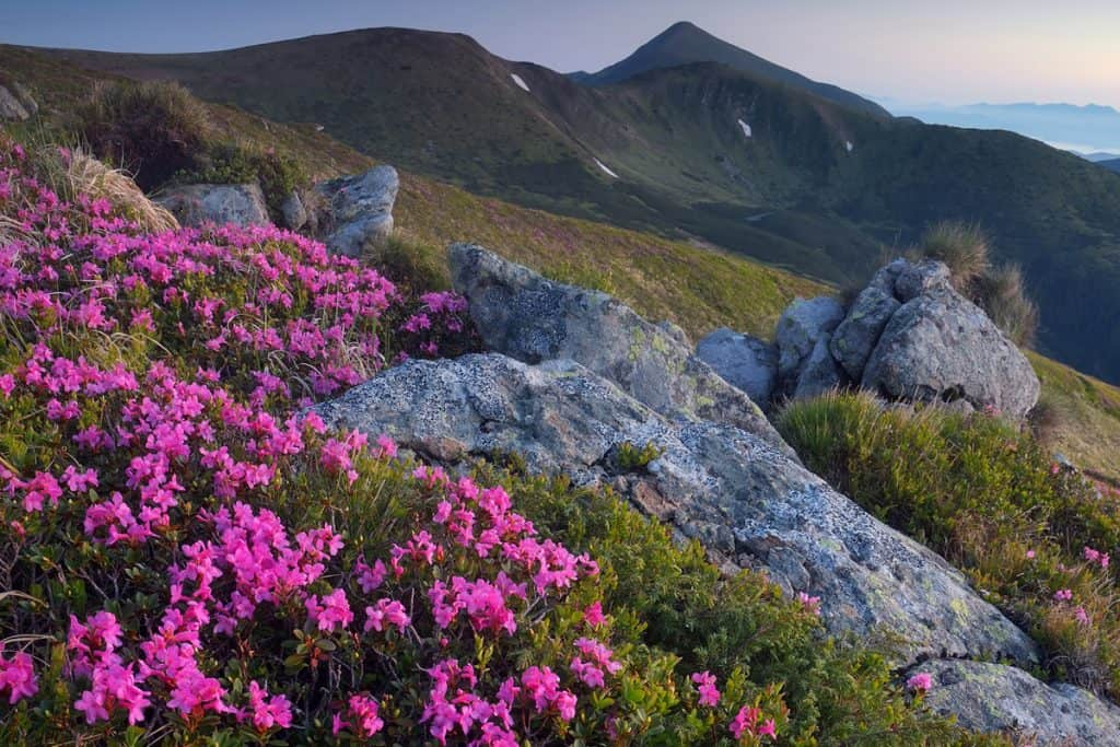 A scenic view of a mountain with Mirabilis jalapa flowers blooming wildly on the mountain side