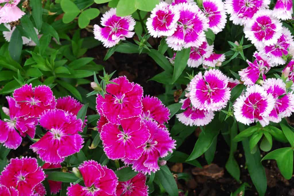 A top view of different colored dianthus flowers on a garden