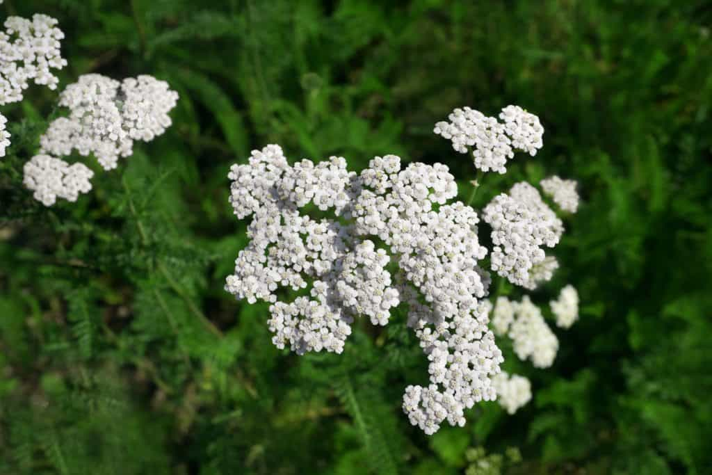 An up close photographed yarrow flowers on a garden