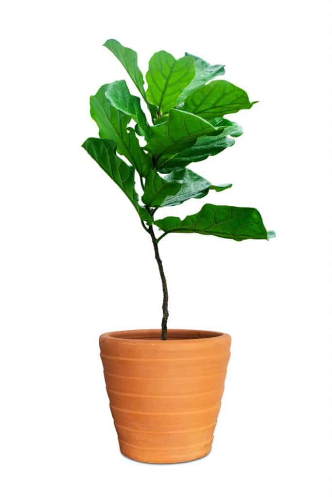 A young ficus lyrata planted on a clay pot