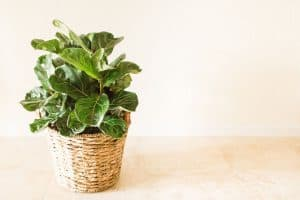 7 Best Fiddle Leaf Fig Fertilizers