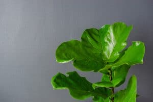 An up close photo of a fiddle leaf tree on a gray painted wall, How Often To Water A Fiddle Leaf Fig?