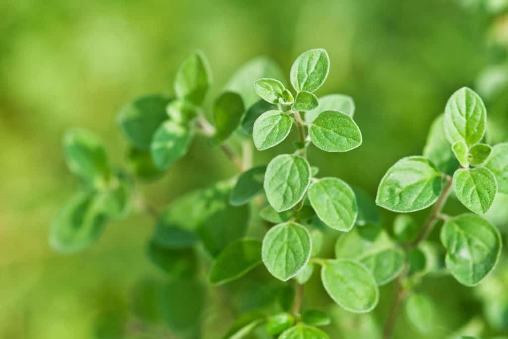 An up close photo of oregano leaves on a garden