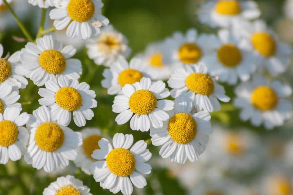 An up close photograph of feverfew flowers on a garden
