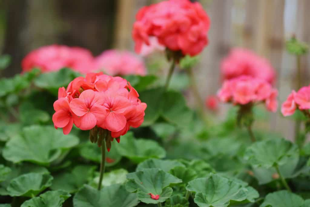 An up close photo of red blooming geraniums