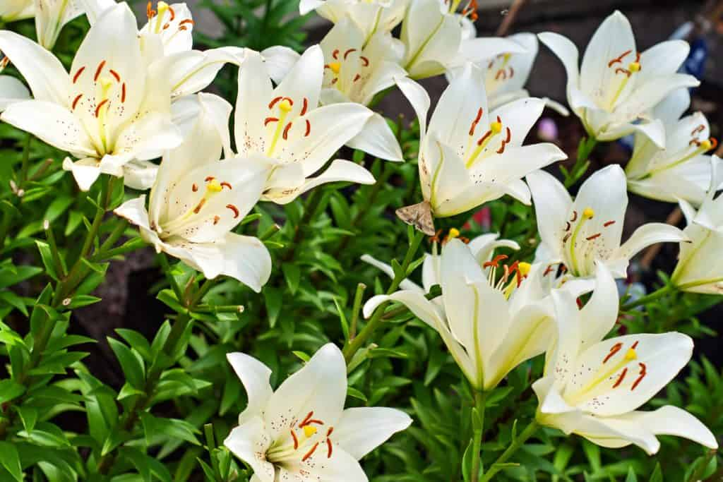 An up close photo of white blooming lilies photographed on a sunny day