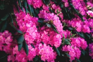 Beautiful Rhododendron flowers photographed on a sunny day in a garden, 19 Flowering Shrubs for Shade