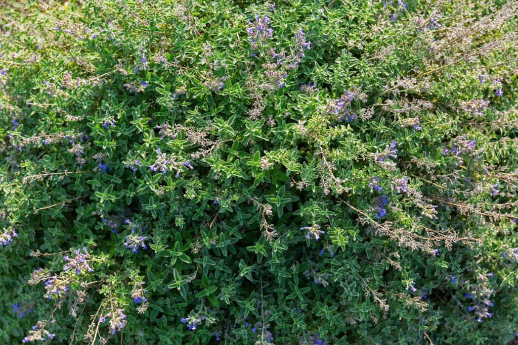 Beautiful catmint flowers blooming on a garden