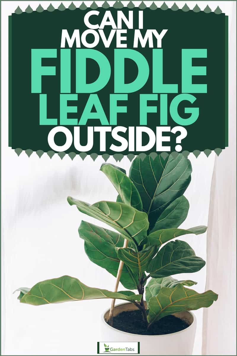 Ficus Lyrata plant in a white plastic pot, Can I Move My Fiddle Leaf Fig Outside?