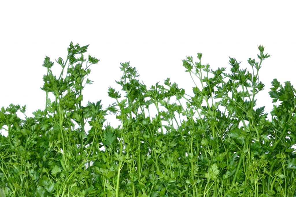 Coriander leaves on a white background