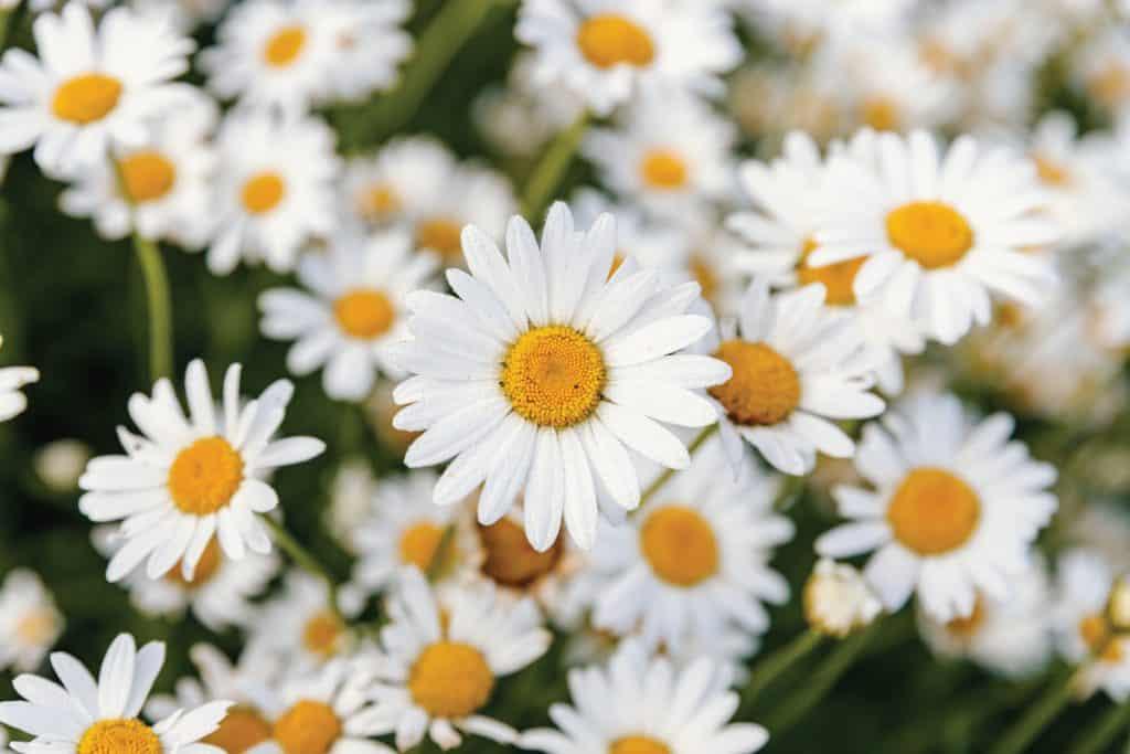 Beautiful daisies in a flower garden