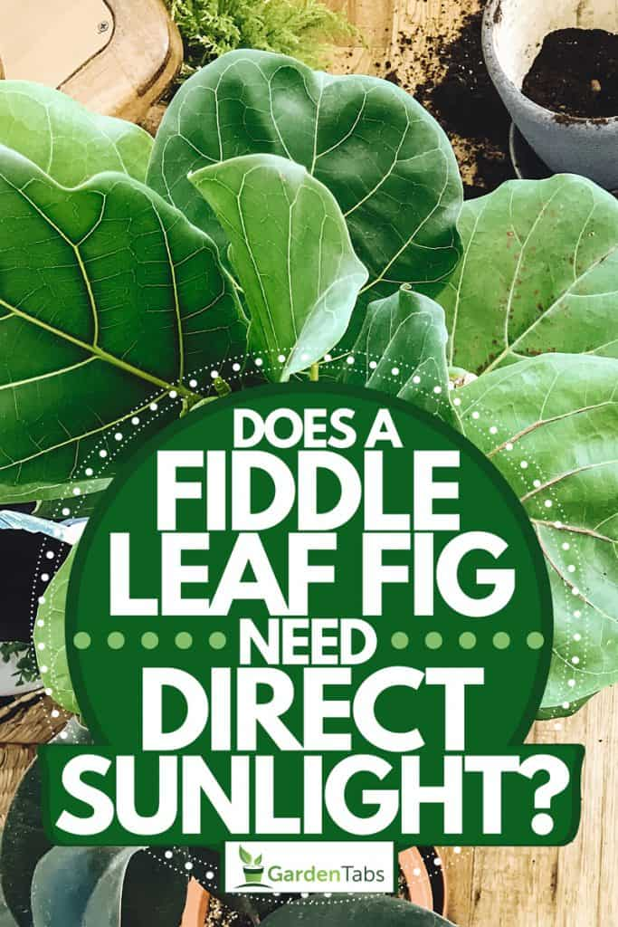A fiddle leaf tree being replanted to another pot, Does A Fiddle Leaf Fig Need Direct Sunlight?