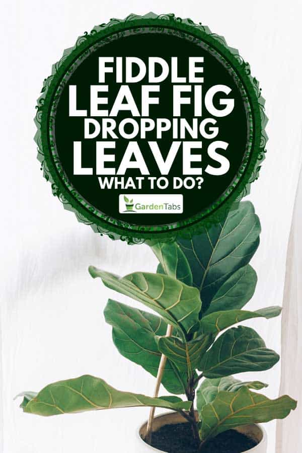 A beautiful fiddle leaf fig tree plant with big green leaves in white pot, Fiddle Leaf Fig Dropping Leaves - What To Do?