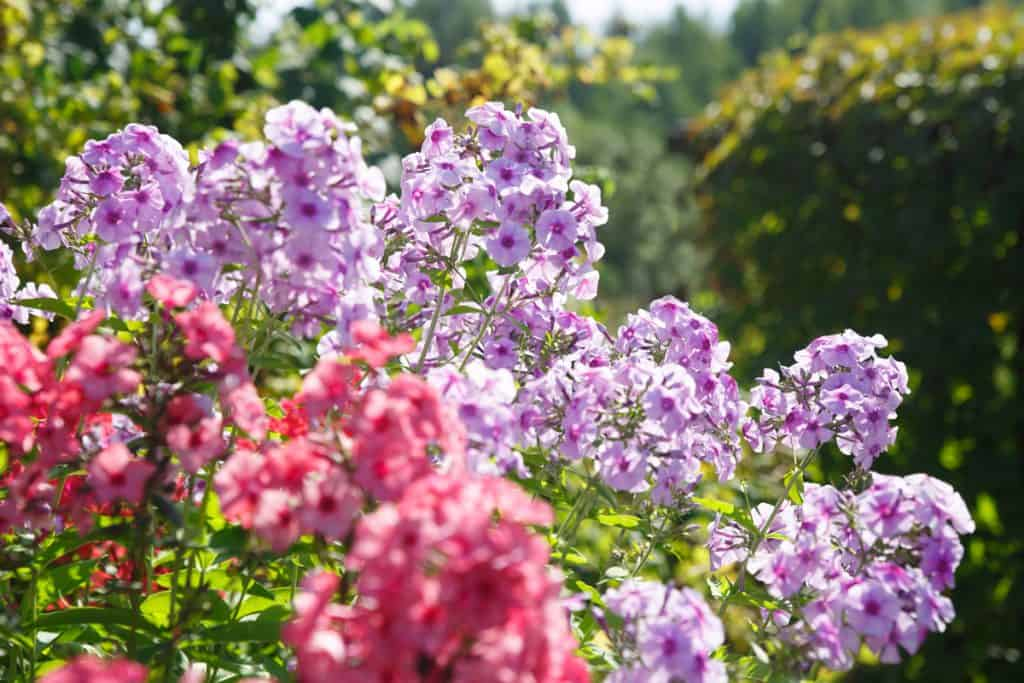 Gorgeous Phlox pinaculata flowers blooming on a garden