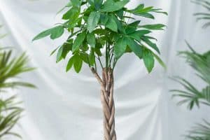 Guiana Chestnut Malvaceae money tree plant in black pot, How Fast Does A Money Tree Grow?