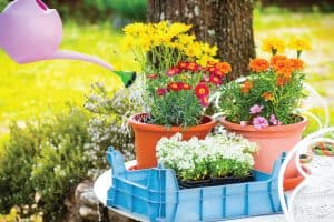 Close up of gardening and potting activity with some pot and multi-colored flowers, 39 Plants That Like Full Sun And Heat