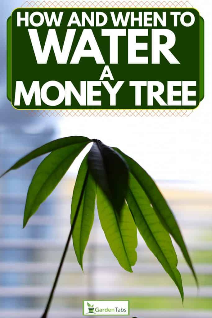 An up close photo of a money tree near a window, How And When To Water A Money Tree