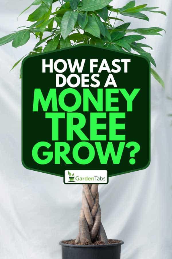 A Guiana Chestnut Malvaceae money tree plant in black pot, How Fast Does A Money Tree Grow?