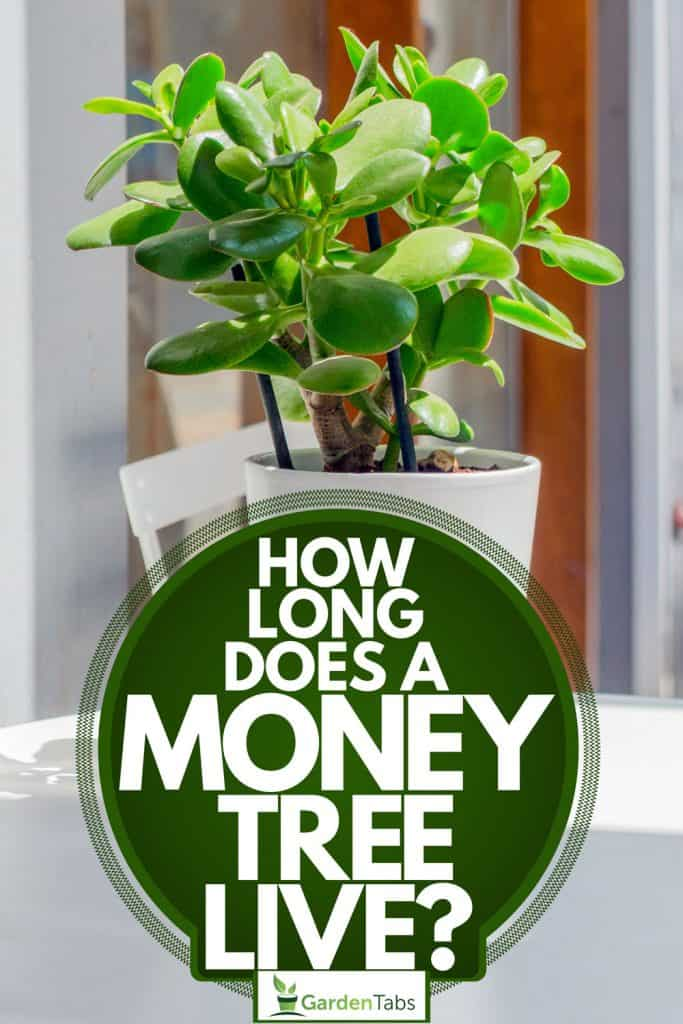A money tree planted on a white ceramic pot placed outside a small restaurant, How Long Does A Money Tree Live?