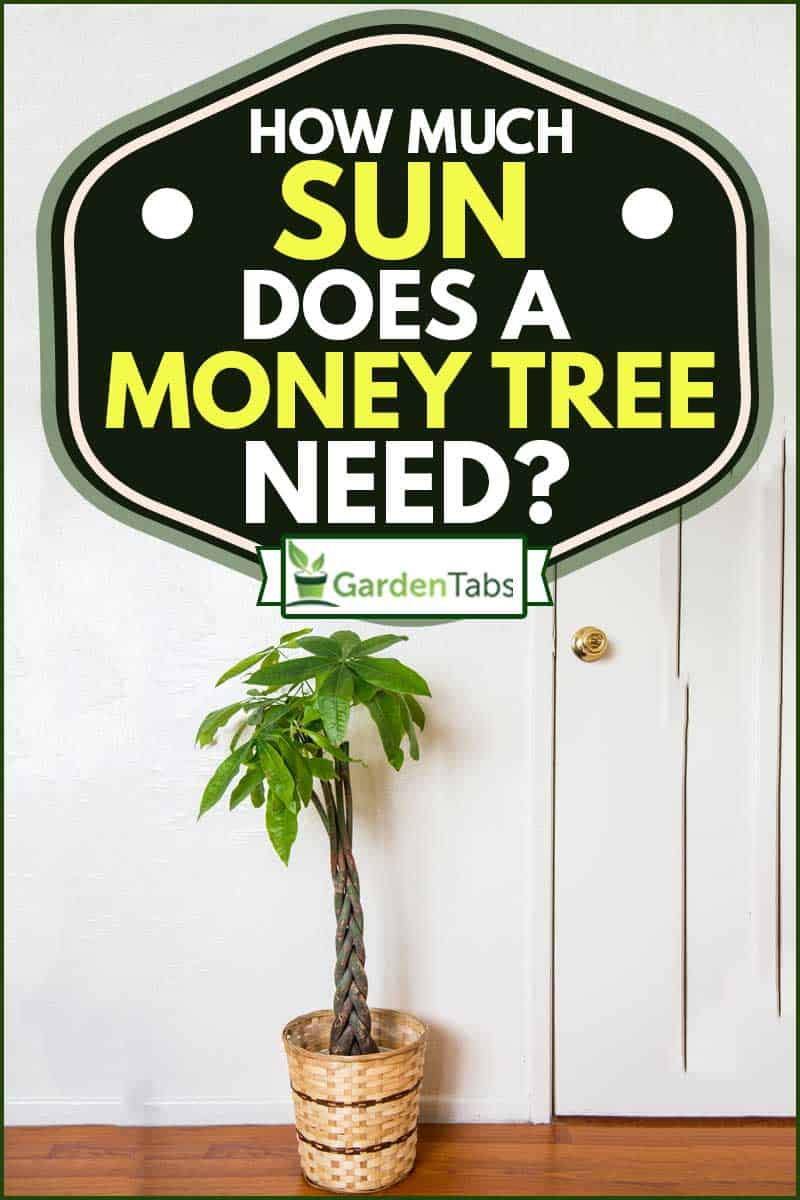 A money tree planted in pot inside the house, How Much Sun Does a Money Tree Need?