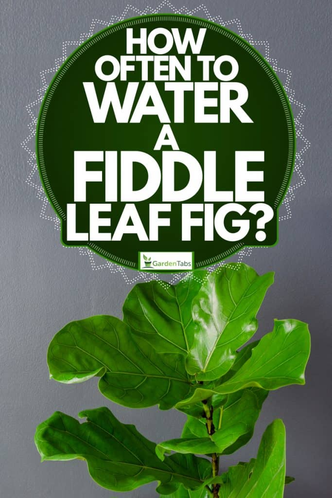An up close fiddle leaf tree on a gray painted wall, How Often To Water A Fiddle Leaf Fig?