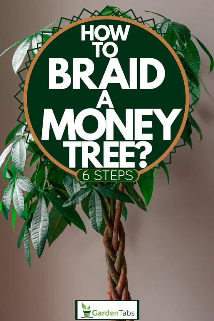 A braided money tree on a brown wall, How To Braid A Money Tree? [6 Steps]