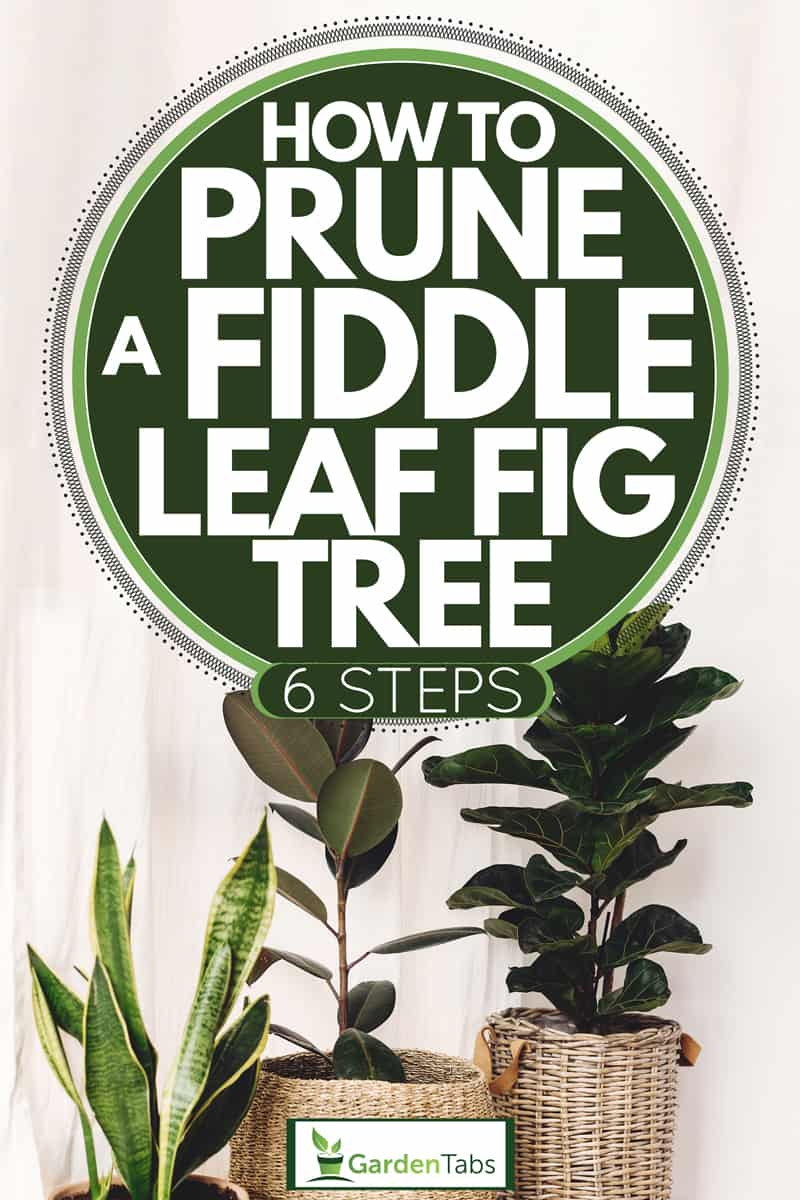 Fiddle leaf fig tree in a white curtain placed inside planter baskets, How To Prune A Fiddle Leaf Fig Tree [6 Steps]