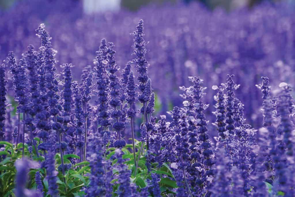 Lavender field in spring season