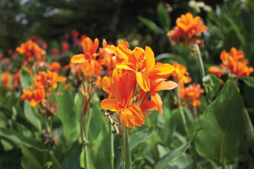 Canna lily flower plants in a green garden