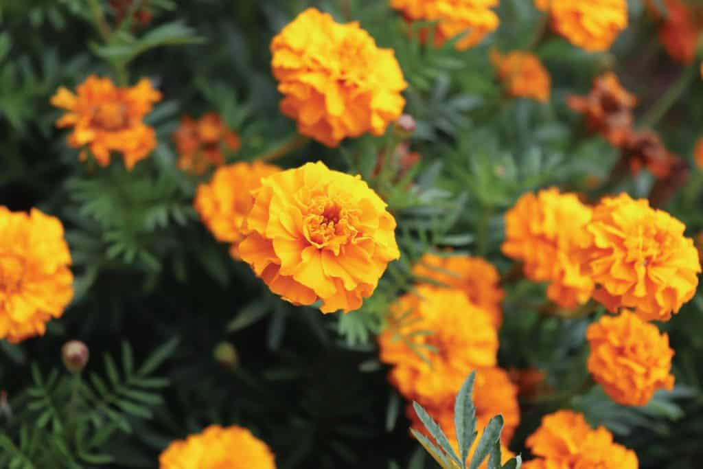 Marigold flowers close up in organic garden