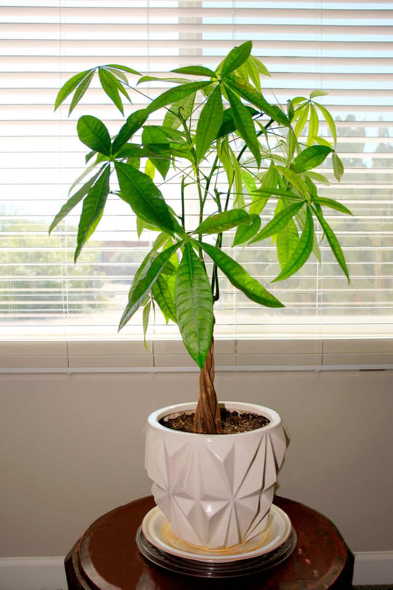 "Pachira Aquatica - Guiana Chestnut from Central and South America, commonly sold as a ""money tree"""