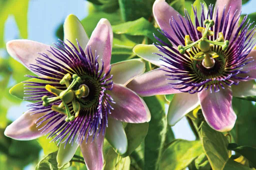 Close up shot of a Passion flower Passiflora