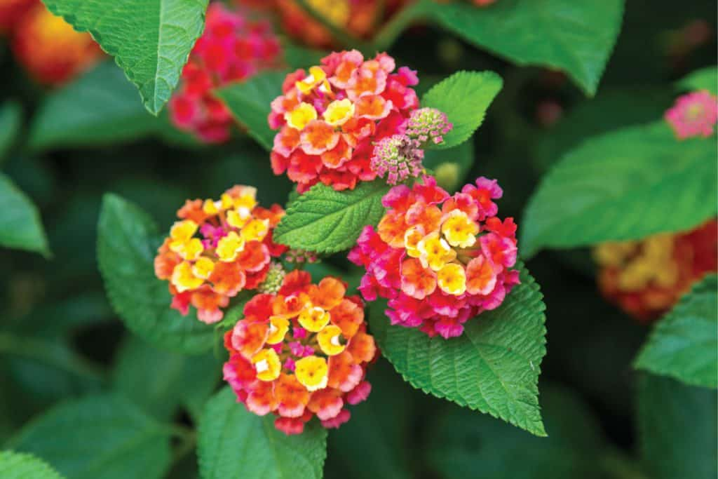 Pink and yellow lantana flowers at sunset