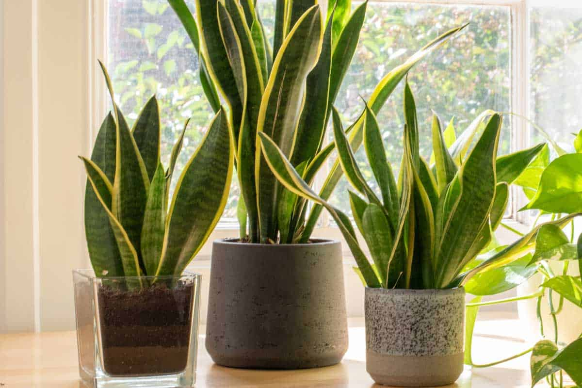 Potted snake plants inside a beautiful new flat or apartment, How Often To Water Your Snake Plant