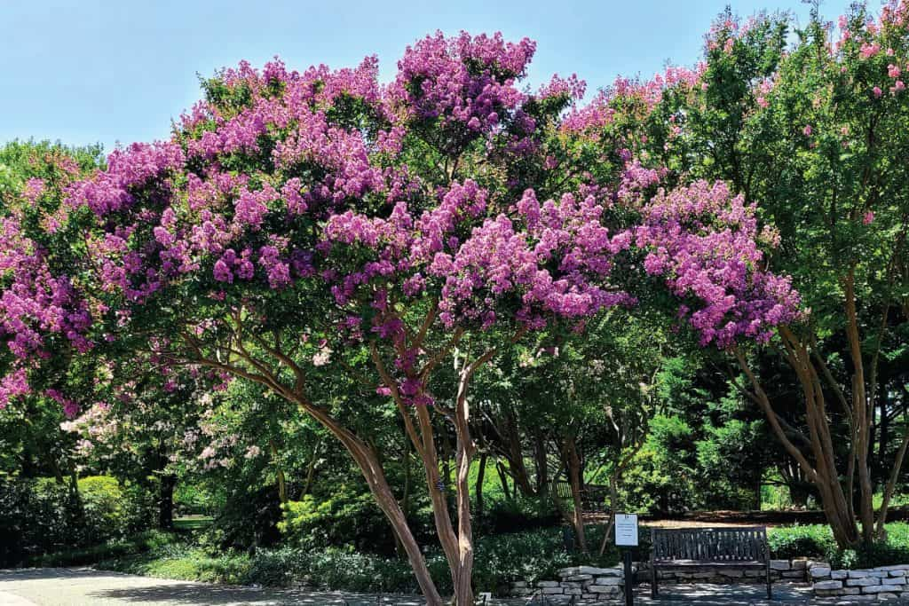 Purple Crepe Myrtle standing in the center of a garden