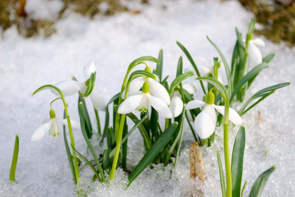 Snowdrop flowers dropping down due to cold snow