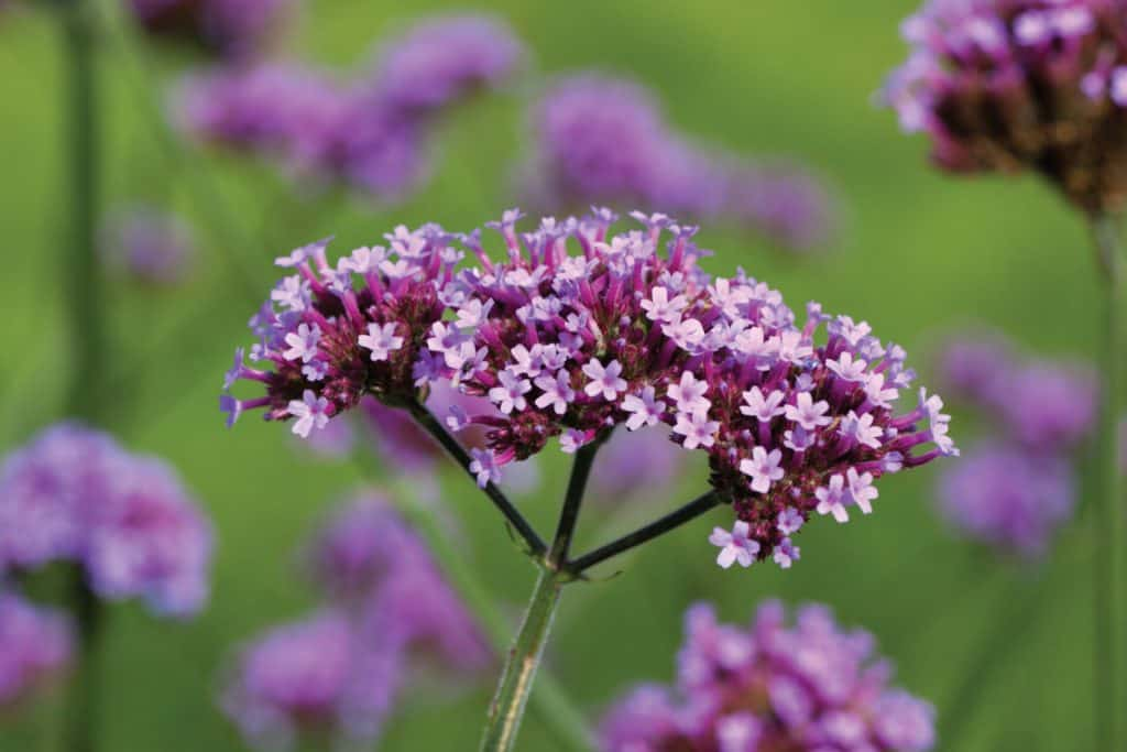 Tall Verbena violet flowers under the sunlight