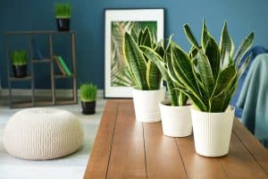 Three snake plants placed on a wooden table inside a blue walled room, 9 Snake Plant Arrangement Ideas