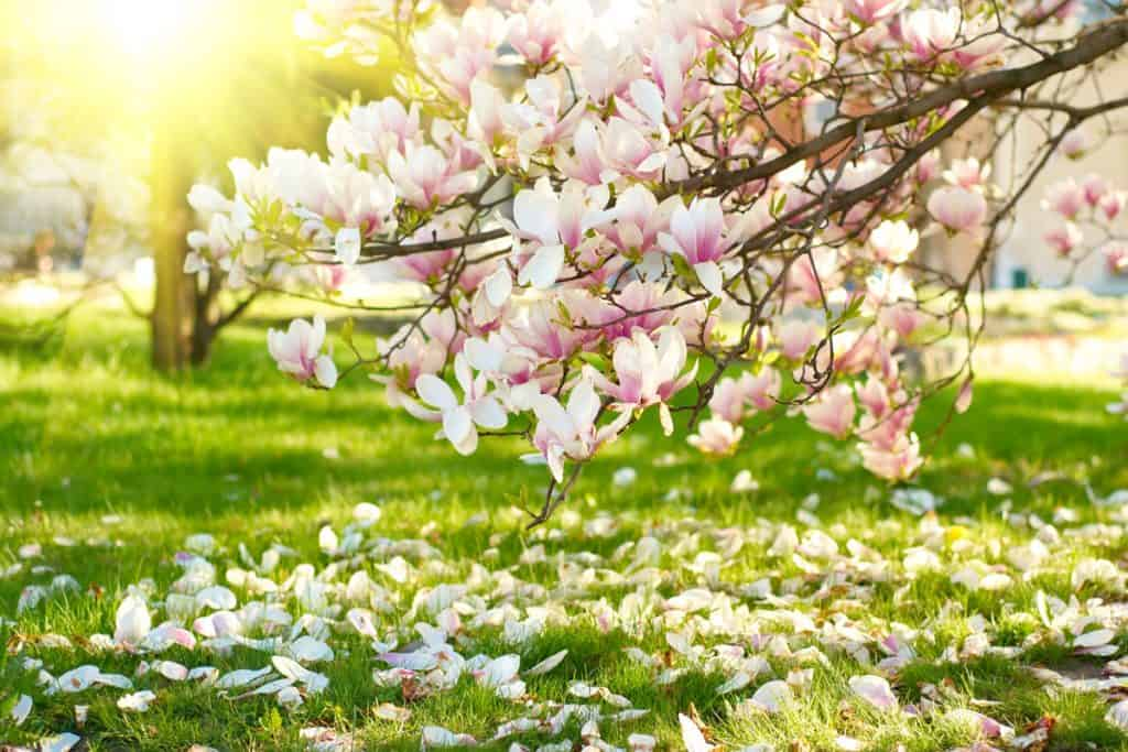 A blooming magnolia tree with gorgeous pink leaves at a park