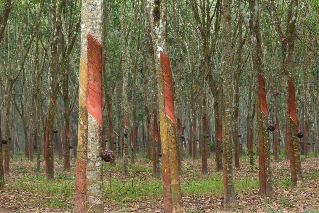 A rubber tree plantation