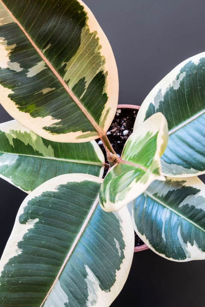 A variegated Ficus Elastica planted on a small pot