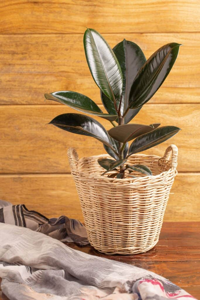 An Indian rubber plant planted on a ratan basket type pot