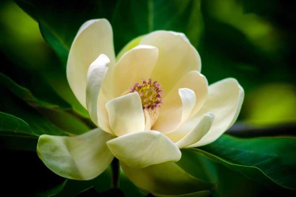 An up close photo of a Magnolia trees blooming flower petals