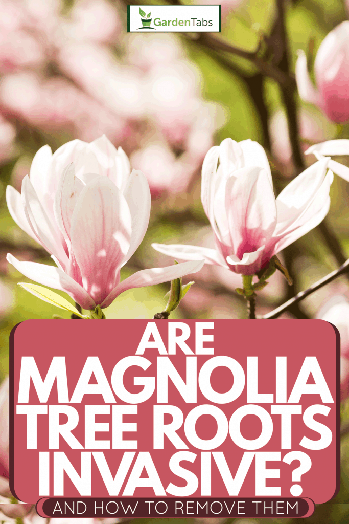 A Magnolia Soulangeana tree blooming under the summer sun, Are Magnolia Tree Roots Invasive? (And How To Remove Them)