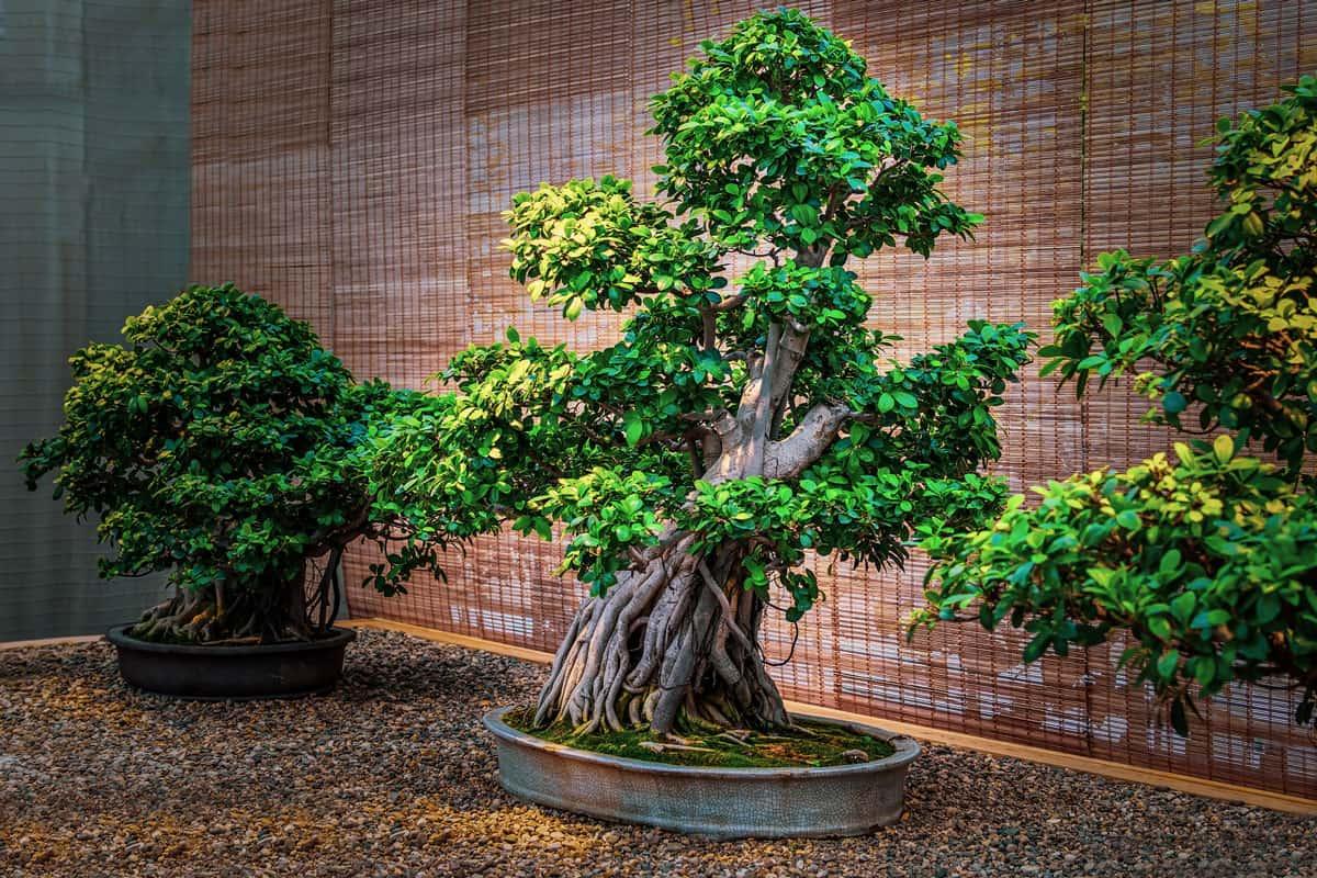 Beautiful rubber tree bonsai in garden, Can You Grow A Rubber Tree Outside?
