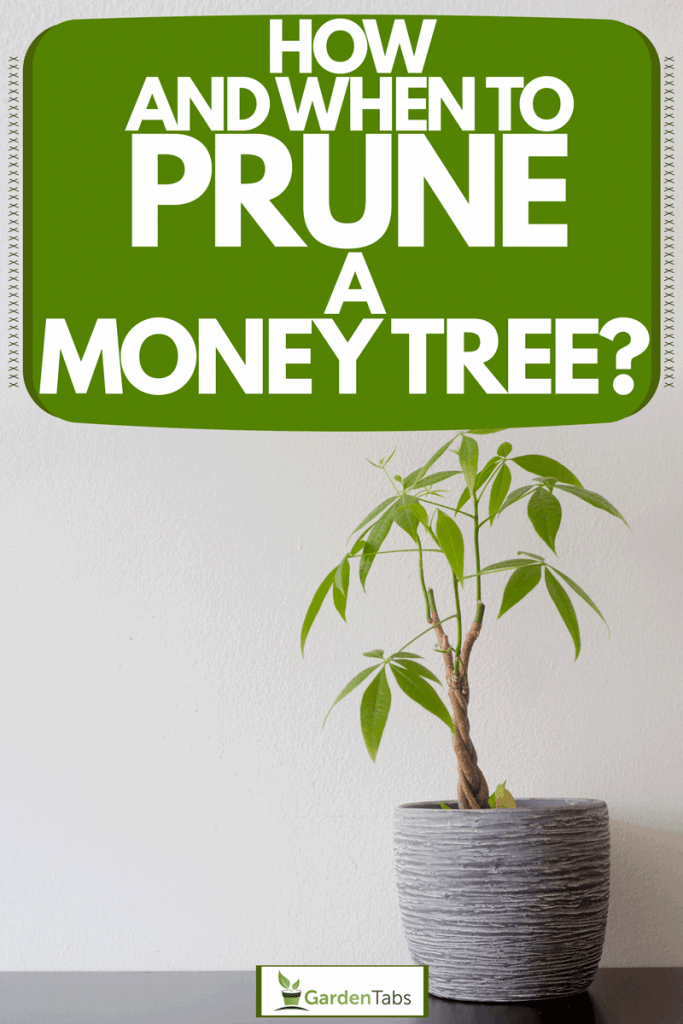 A small braided Money tree planted on a gray ceramic pot placed on a light gray colored wall, How And When To Prune A Money Tree?