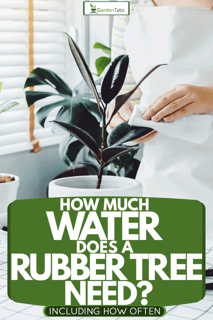 How Much Water Does A Rubber Tree Need Inc How Often Garden Tabs