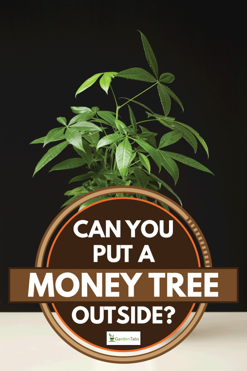 Pachira in a small white pot against dark wall, Can You Put A Money Tree Outside?