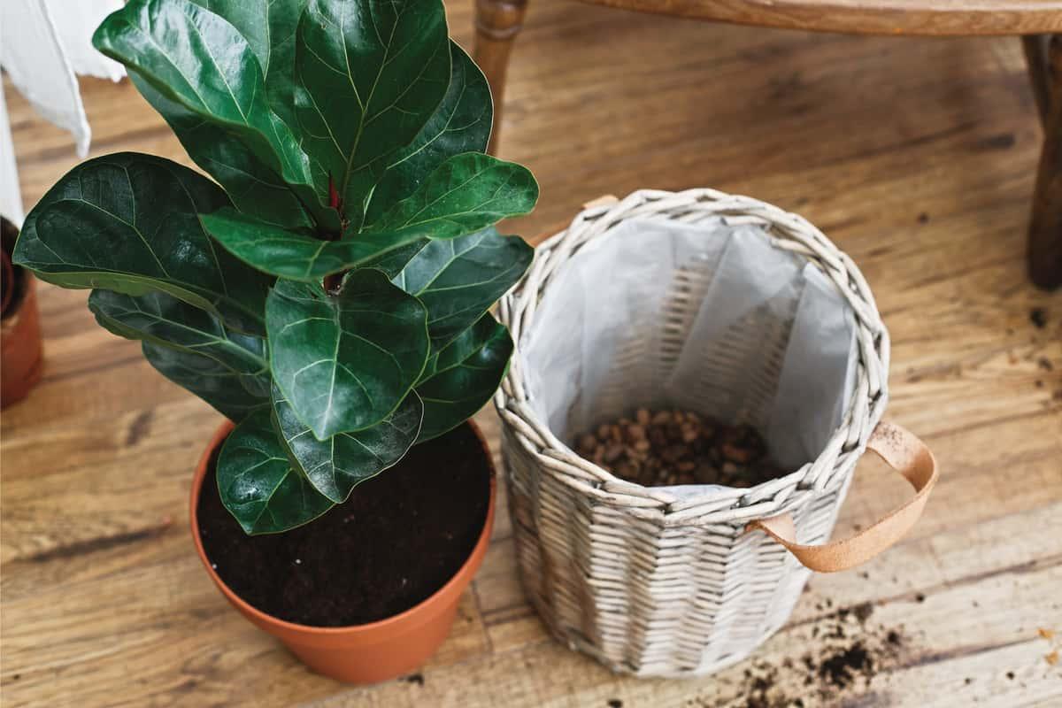 Repotting fiddle leaf fig tree in big modern pot. Ficus lyrata