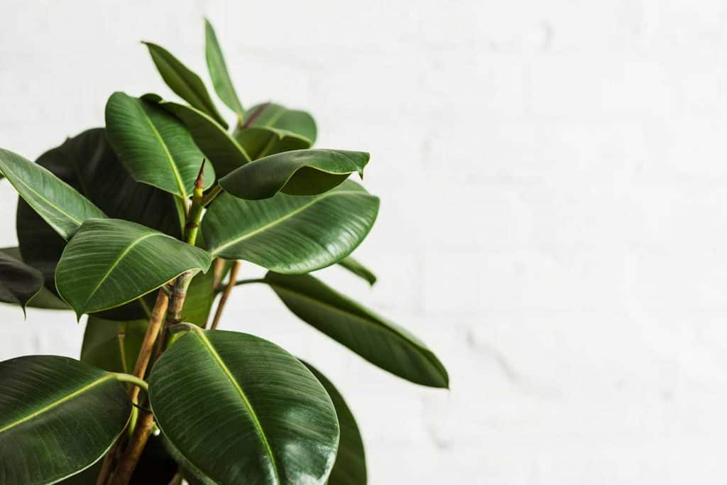 Rubber fig Ficus Elastica plant with green leaves by white wall